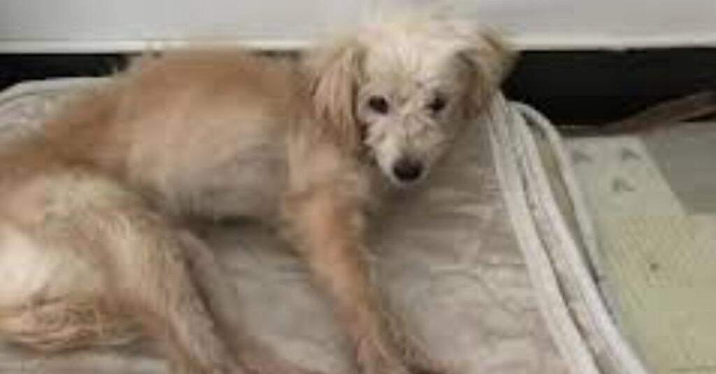Dou Dou, il cagnolino che ha percorso 60 Km in 26 giorni per riabbracciare la sua famiglia