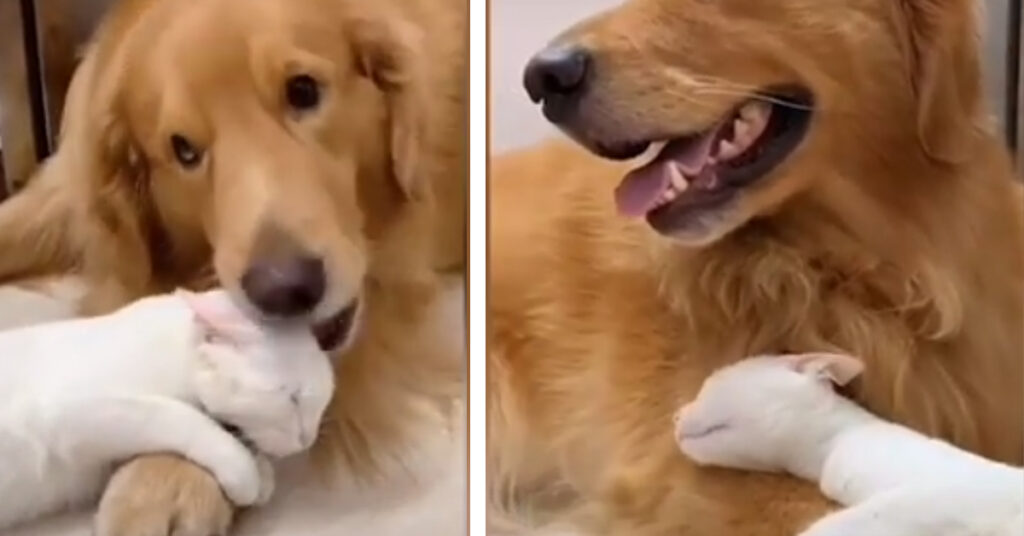 Duo Duo e Snowball, il Golden Retriever e il gattino uniti da un'amicizia speciale (video)