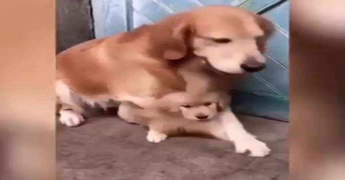 Golden protegge un cucciolo della stessa razza (VIDEO)