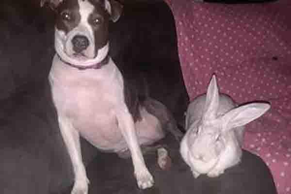 Pitbull con un coniglio