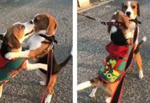 Due cuccioli di Beagle che si abbracciano