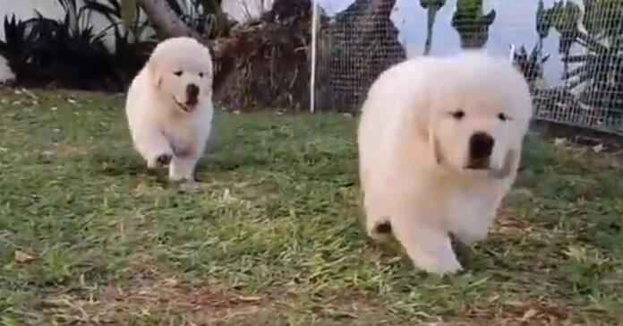 Cuccioli di Golden Retriever che corrono