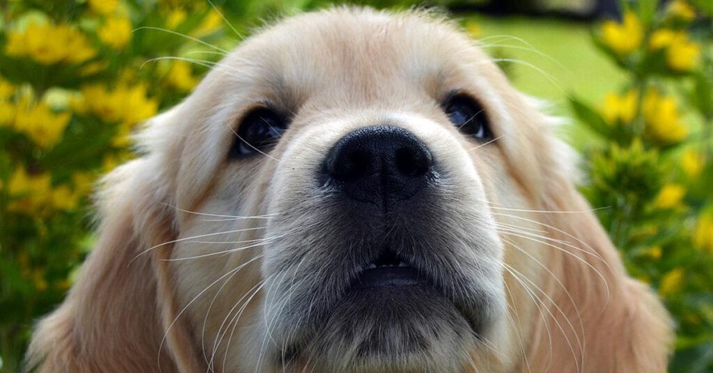 I cuccioli di Golden Retriever sono tutti affamati e il risultato è esilarante (video)