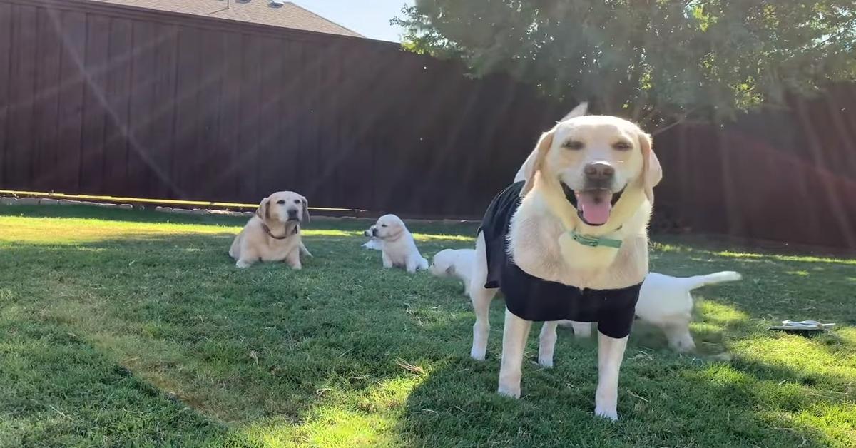 I cuccioli di Labrador entrano in piscina per la prima volta (VIDEO)
