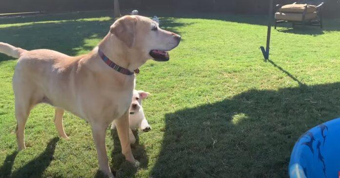 cuccioli di Labrador giocano in piscina