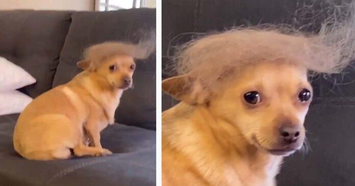 Chihuahua con la parrucca