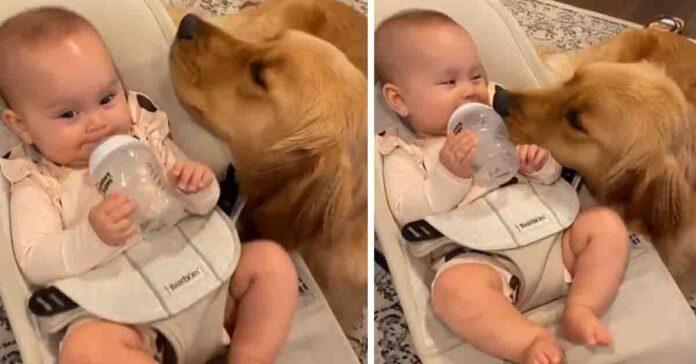 Golden Retriever con bambino