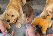 Golden Retriever gioca con una bambina