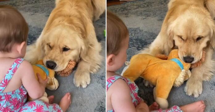 Golden Retriever gioca con una bambina