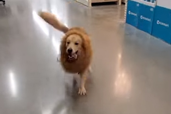 "Il Golden Retriever entra nello spirito di Halloween e si traveste da ""feroce"" leone (video)"