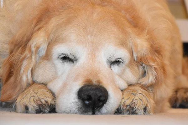 Golden Retriever che dorme