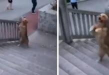 Golden Retriever sale le scale come un essere umano