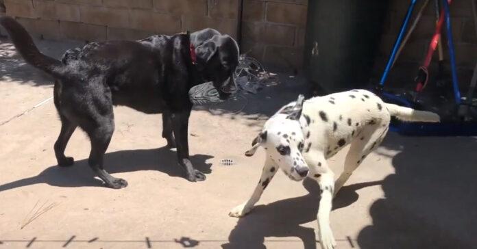 Due cani che giocano con una scarpa