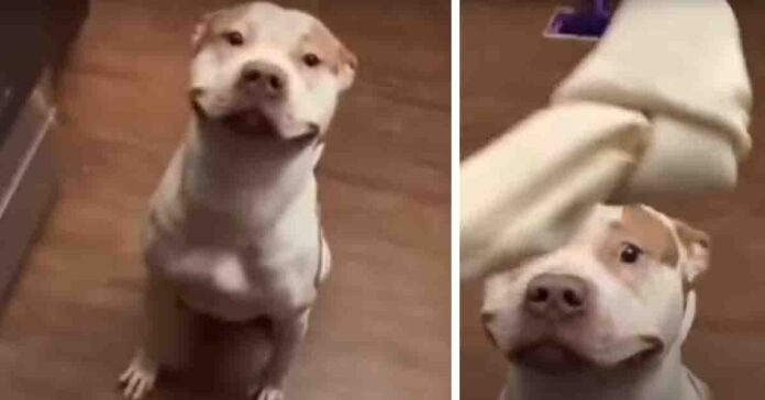 Pitbull che sorride