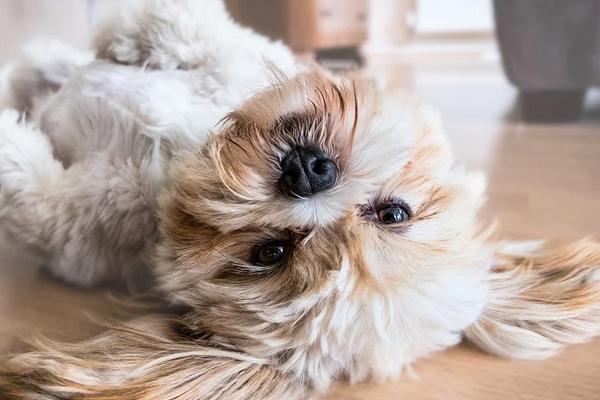Cagnolino sdraiato sulla schiena