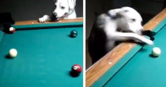 Cane gioca a biliardo