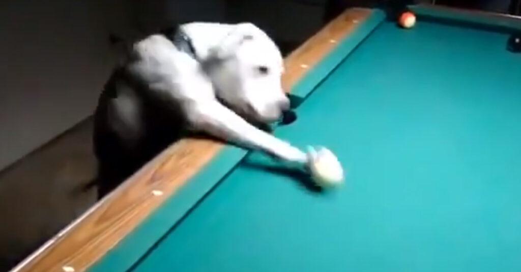 Il cagnolino gioca a biliardo e le sue incredibili doti diventano virali (video)