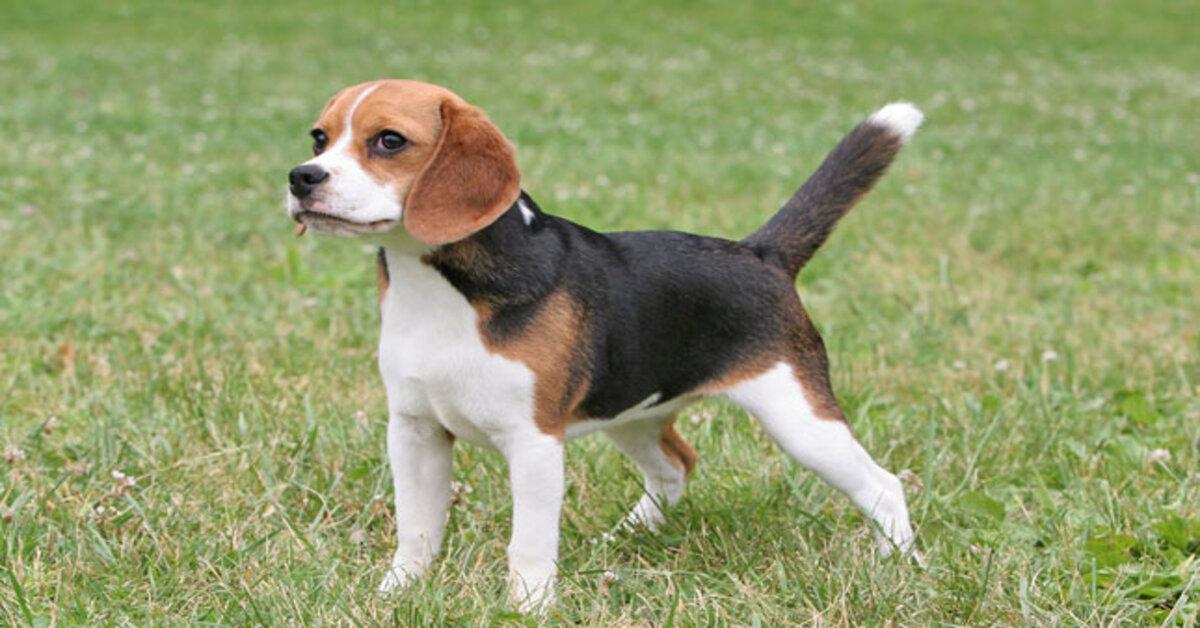 cucciolo di Beagle che osserva