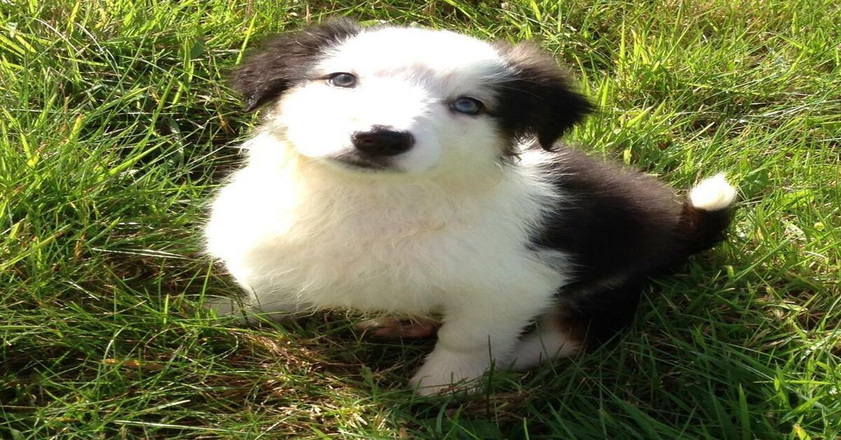 Il cucciolo di Border Collie gioca con il suo riflesso dello specchio (VIDEO)