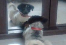 cucciolo Border Collie gioca con lo specchio