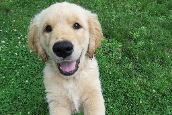 Il cucciolo di Golden Retriever prova a salire uno scalino (video)