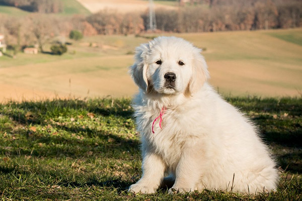 Cucciolo di Golden Retriever in un prato