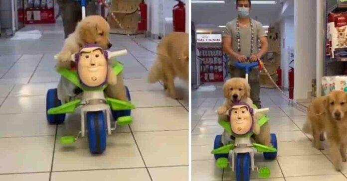Cucciolo di Golden Retriever su una moto giocattolo