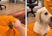 Cucciolo di Golden Retriever travestito da zucca