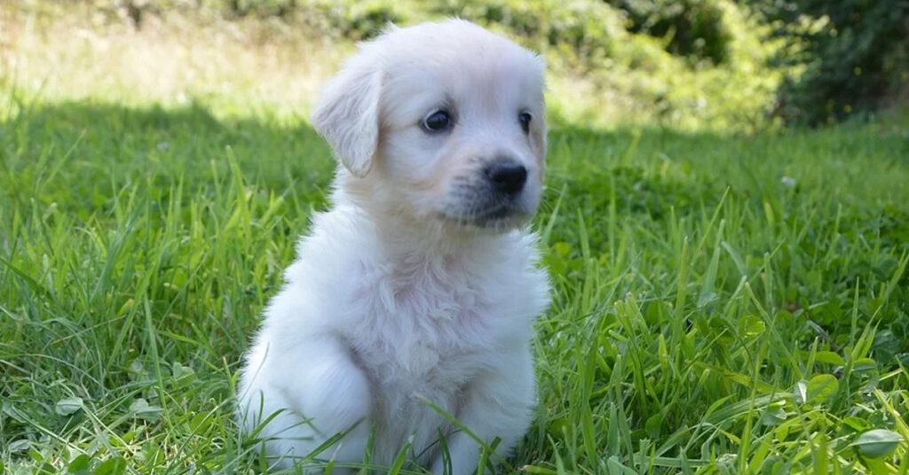 Il cucciolo di Golden Retriever si traveste da zucca e il video conquista il web