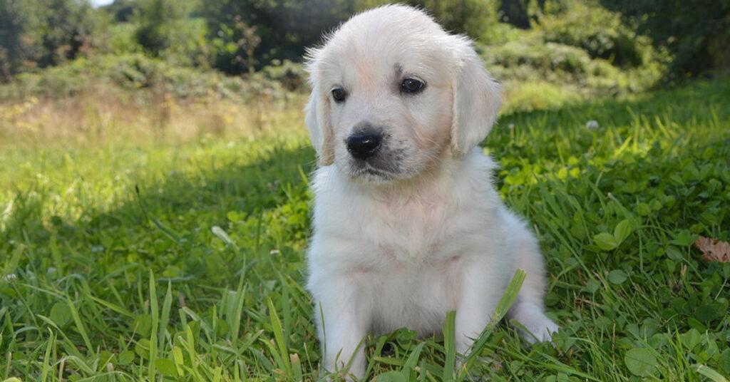 Il cucciolo di Golden Retriever vuole recuperare la sua pallina e non si lascia fermare da una zanzariera (video)