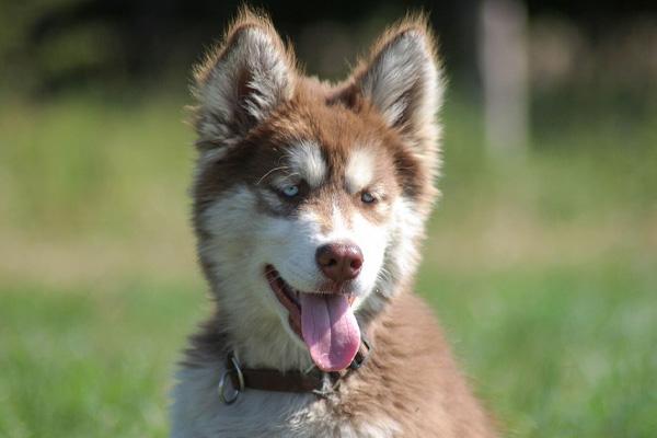 Cucciolo di Husky che osserva