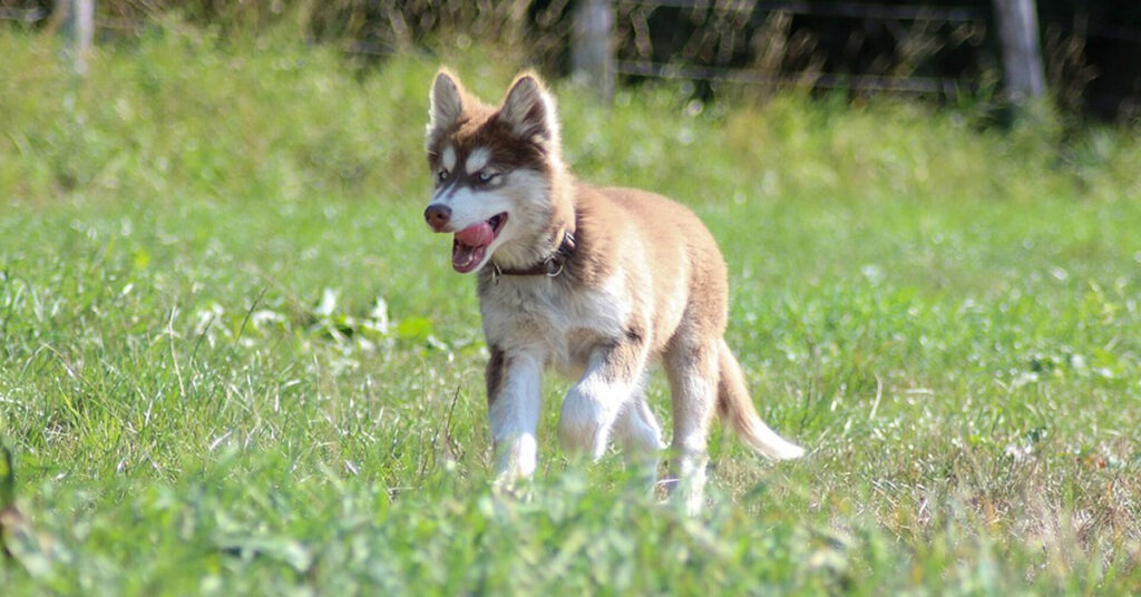 Il cucciolo di Husky è troppo stanco per camminare e la soluzione della proprietaria è virale (video)