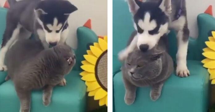 Cucciolo di Husky che gioca con un gattino