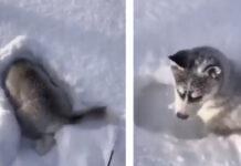 Cucciolo di Husky nella neve