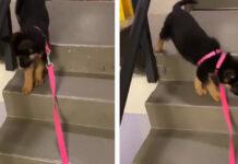 Cucciolo di Pastore Tedesco che scende le scale