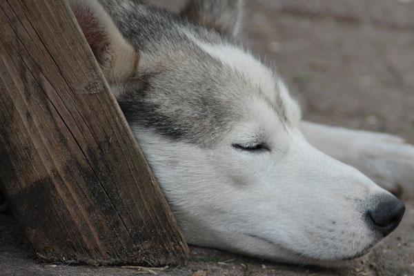 Husky che dorme