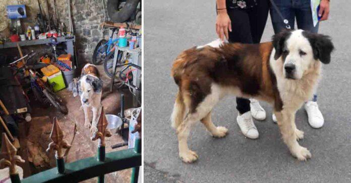 Trasformazione di un cane San Bernardo
