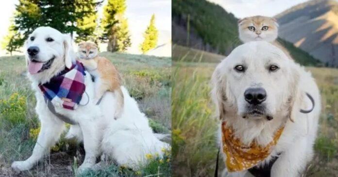 Golden Retriever insieme a una gattina