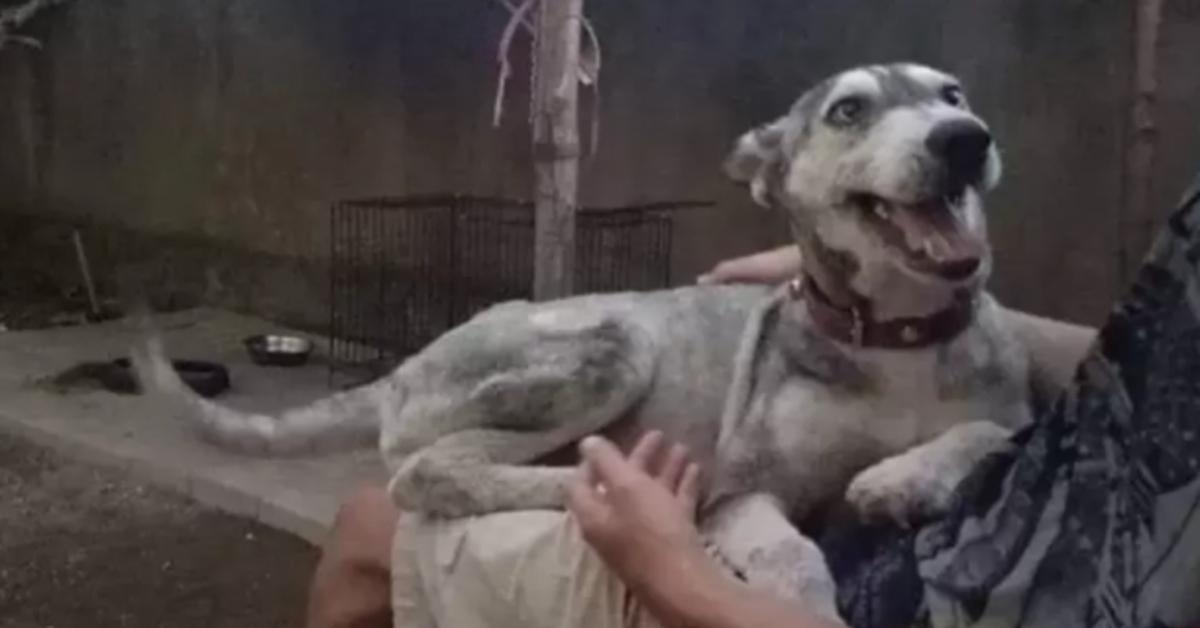 La trasformazione di Hope, un cucciolo di Siberian Husky gravemente malnutrito (VIDEO)