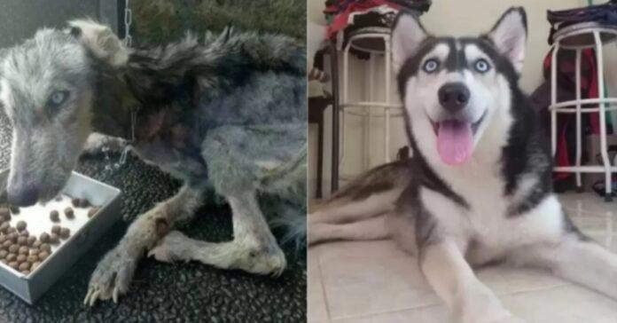 Cucciolo di Husky trasformazione