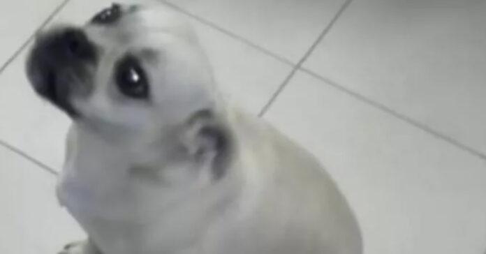 Cane che guarda in alto