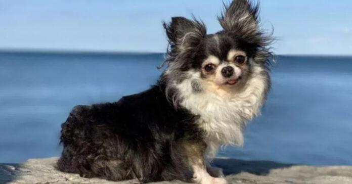 Chihuahua che osserva