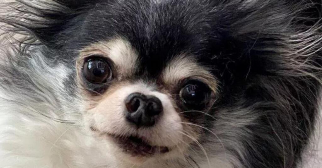 MacKenzie, il minuscolo Chihuahua di 1,8 Kg che è diventato il cane più eroico degli Stati Uniti