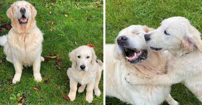 Cucciolo di Golden Retriever con un cane cieco