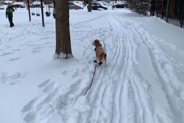 Il dolce beagle Oliver gioca con la neve e con il padrone (VIDEO)