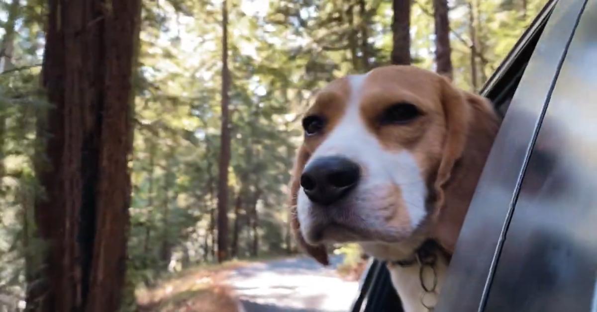Il Beagle Oliver va in campeggio per la prima volta (VIDEO)