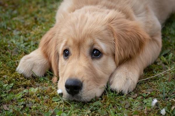 cucciolo che osserva