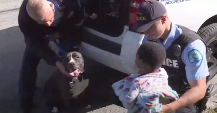 Pitbull fa la guardia a un bambino