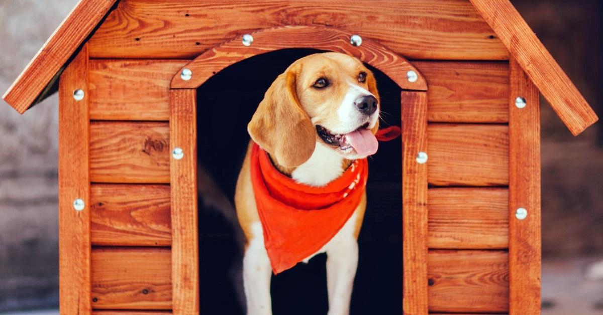 beagle nella sua cuccia