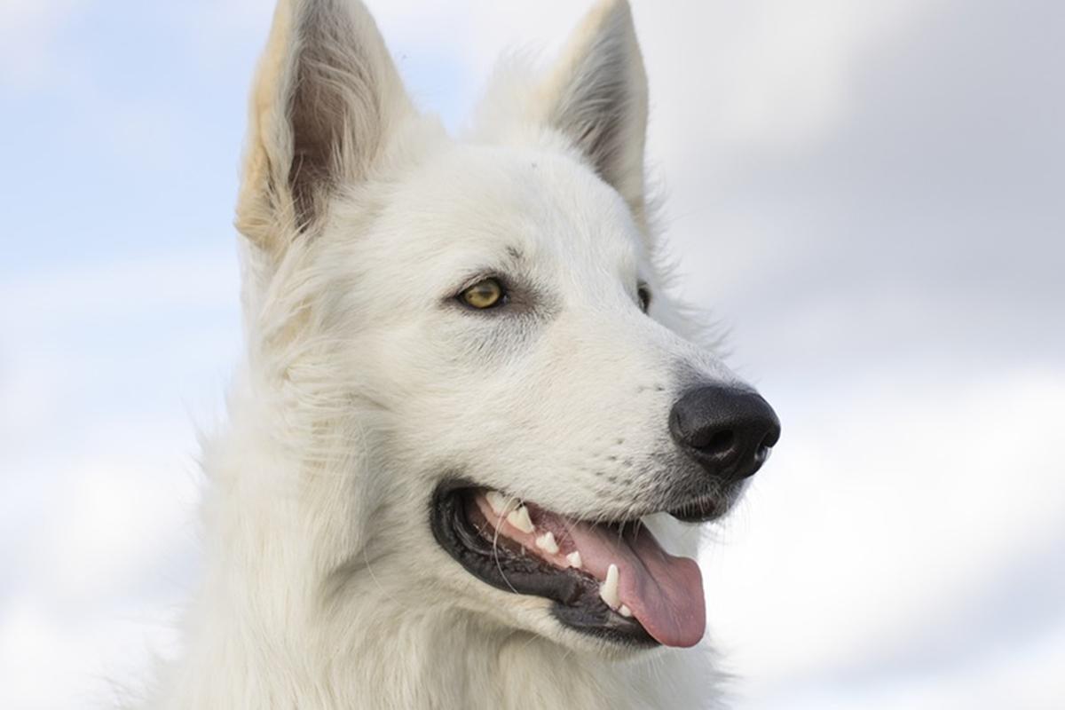 cane con il pelo lungo e bianco